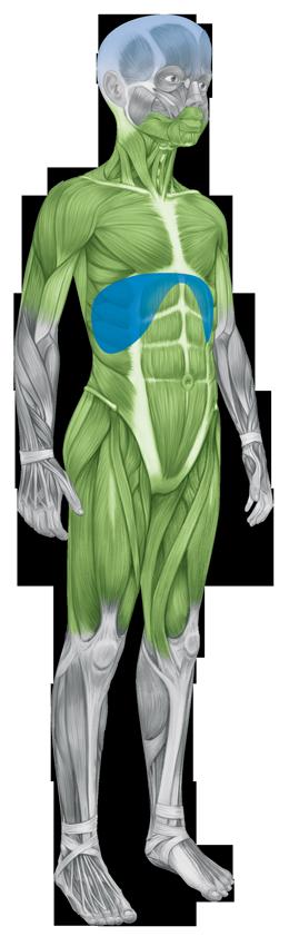 Abbildung eines jugendlichen Körpers: gekennzeichnete Körperstellen, die Symptomen bei Morbus Pompe aufweisen können